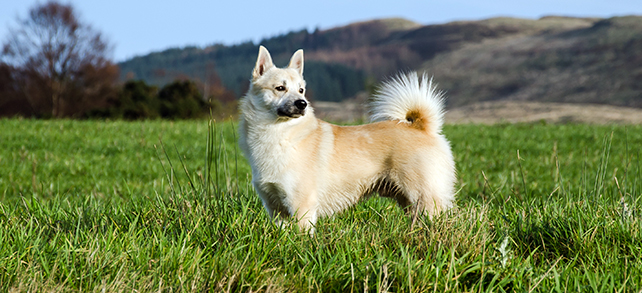 The Definitive Guide To Norwegian Buhund Dogs