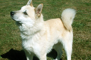 Norwegian Buhund Dog Breeds