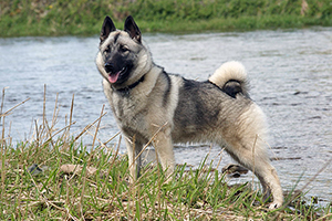 Norwegian Elkhound Dog Breeds