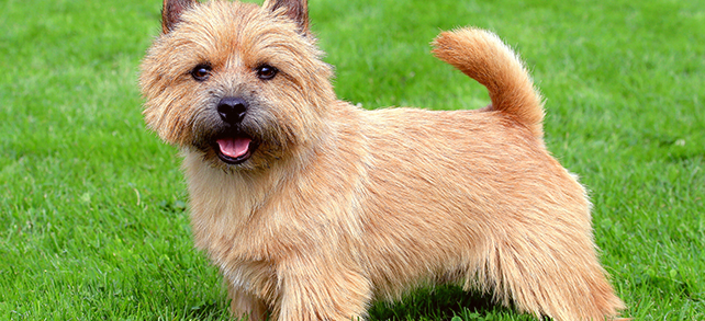 The Definitive Guide To Norwich Terrier Dogs