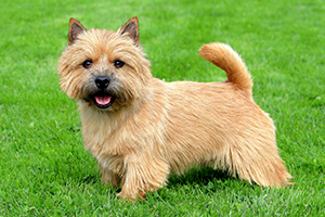 Norwich Terrier Dog Breeds
