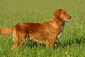 Nova Scotia Duck Tolling Retriever Dog Breeds