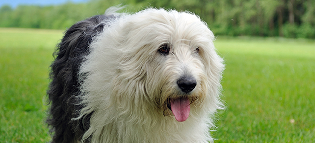 The Definitive Guide To Old English Sheepdogs