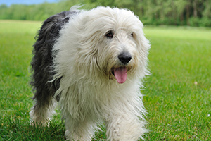 Old English Sheepdog Breeds