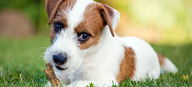 The Definitive Guide To Parson Russell Terrier Dogs