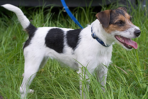 Parson Russell Terrier Dog Breeds