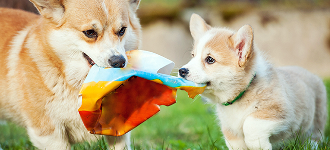 The Definitive Guide To Pembroke Welsh Corgi Dogs