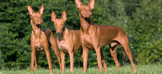 The Definitive Guide To Pharaoh Hound Dogs