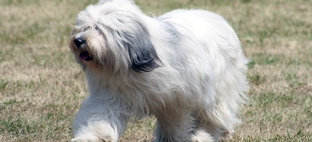 Polish Lowland Sheepdog Breed
