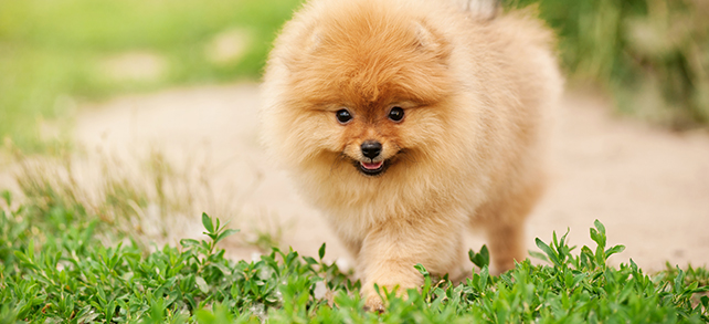 Pomeranian Exercise And Personality