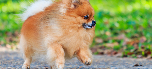 Pomeranian Facts And Characteristics