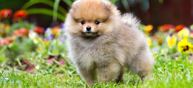Pomeranian Food Diet Feeding