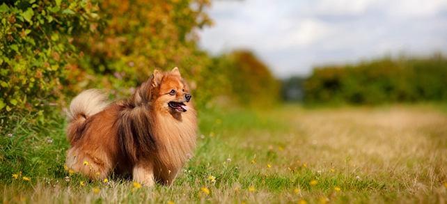 Pomeranian Health Problems Lifespan