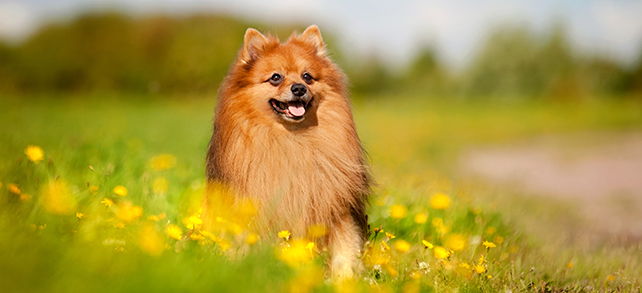 Pomeranian Temperament Training