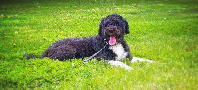 The Definitive Guide To Portuguese Water Dogs