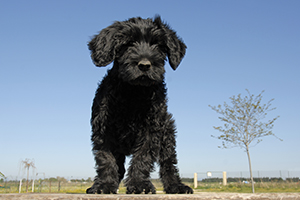 Portuguese Water Dog Breeds