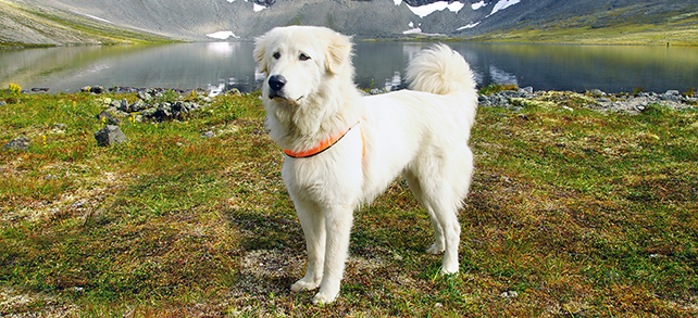 Pyrenean Mountain Dog Breed
