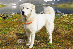 Pyrenean Mountain Dog Breeds