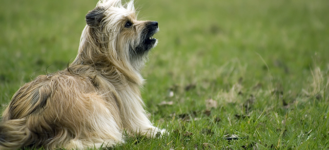 The Definitive Guide To Pyrenean Shepherd Dogs