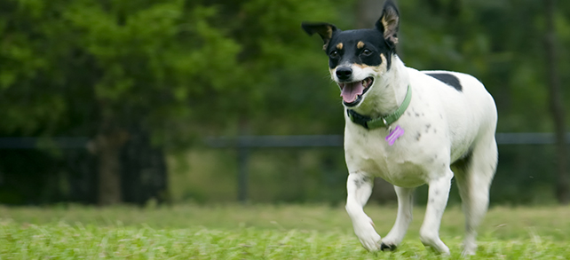 The Definitive Guide To Rat Terrier Dogs