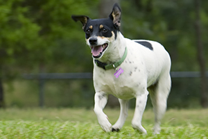 Rat Terrier Dog Breeds
