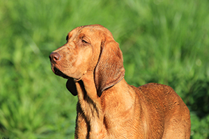 Redbone Coonhound Dog Breeds