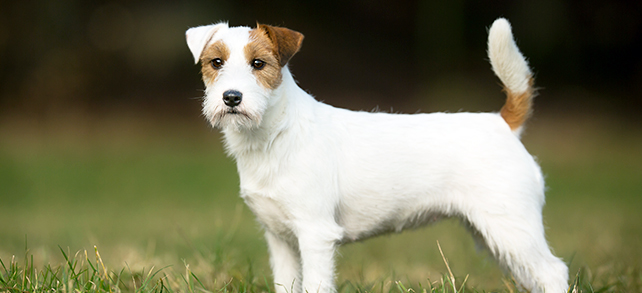 The Definitive Guide To Russell Terrier Dogs