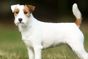 Russell Terrier Dog Breeds
