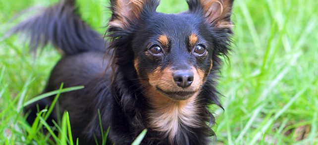 Russian Toy Terrier Dog Breed