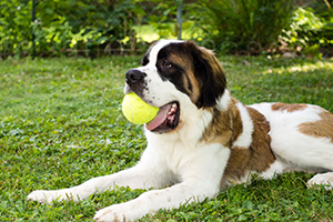 Saint Bernard Dog Breeds