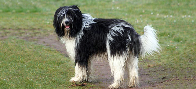 Schapendoes Dog Breed