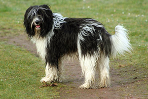 Schapendoes Dog Breeds