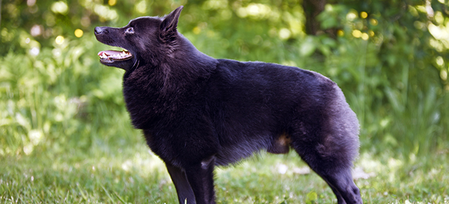 The Definitive Guide To Schipperke Dogs
