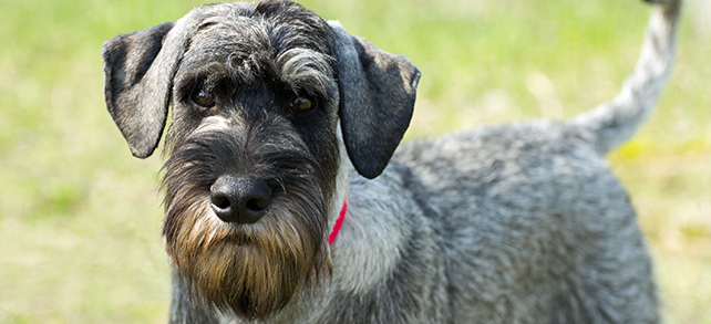The Definitive Guide To Schnauzer Dogs