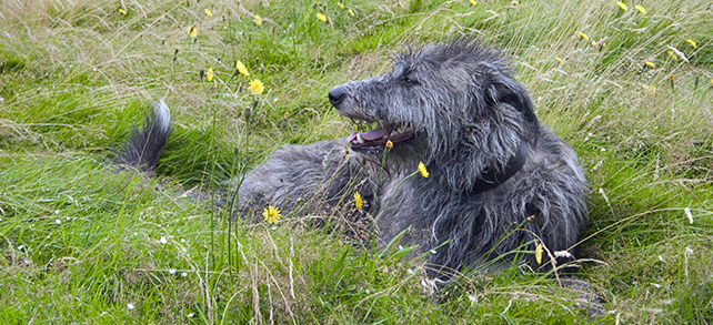 The Definitive Guide To Scottish Deerhound Dogs