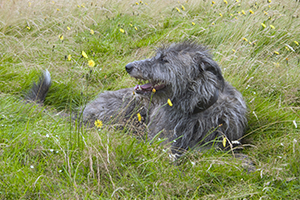 Scottish Deerhound Dog Breeds