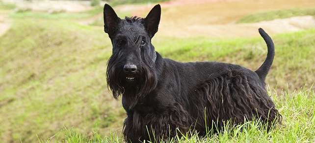 The Definitive Guide To Scottish Terrier Dogs