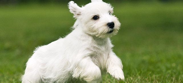 The Definitive Guide To Sealyham Terrier Dogs