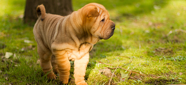 Shar-Pei Food Diet Feeding