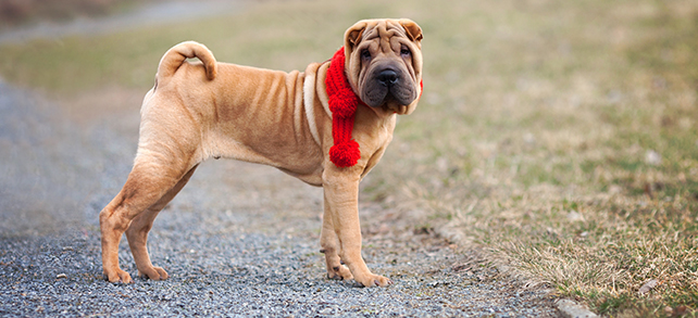 Shar-Pei Health Problems Lifespan