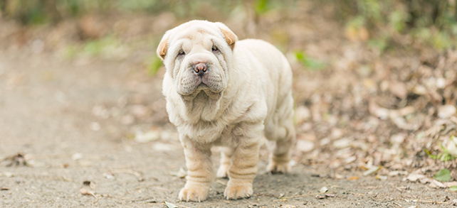 Shar-Pei Temperament Training