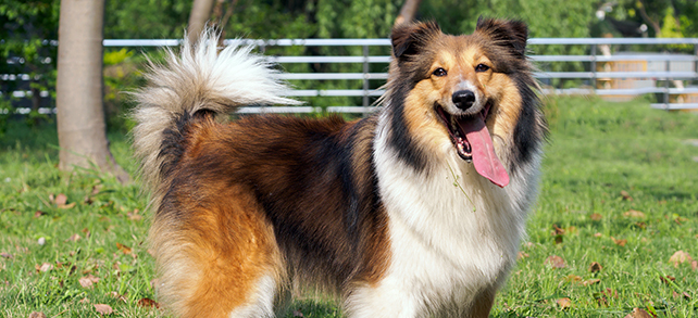 The Definitive Guide To Shetland Sheepdogs