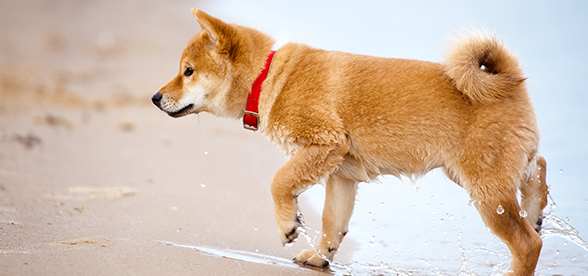 Shiba Inu Dog Exercise And Personality