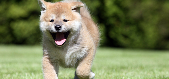 Shiba Inu Dog Facts And Characteristics