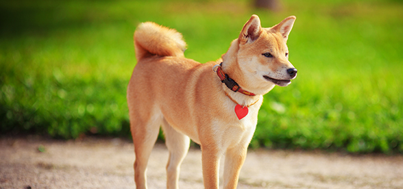 Shiba Inu Dog Feeding And Diet