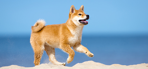 Shiba Inu Dog Health Problems And Lifespan