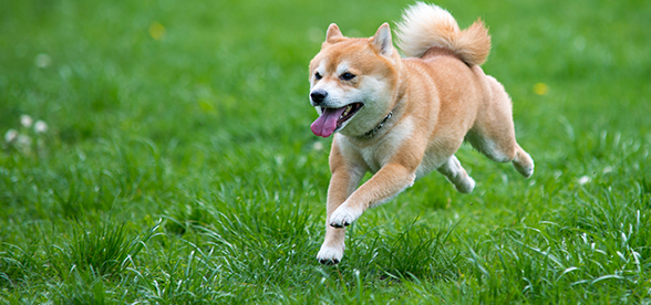 Shiba Inu Dog Origin And History