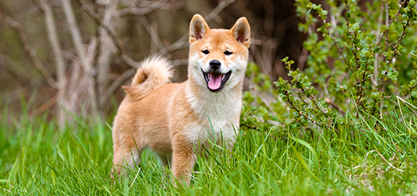 Shiba Inu Dog Temperament And Training
