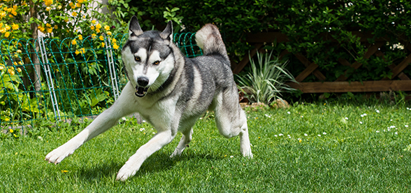 Siberian Husky Dog Exercise And Personality