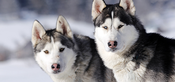 Siberian Husky Dog Feeding And Diet